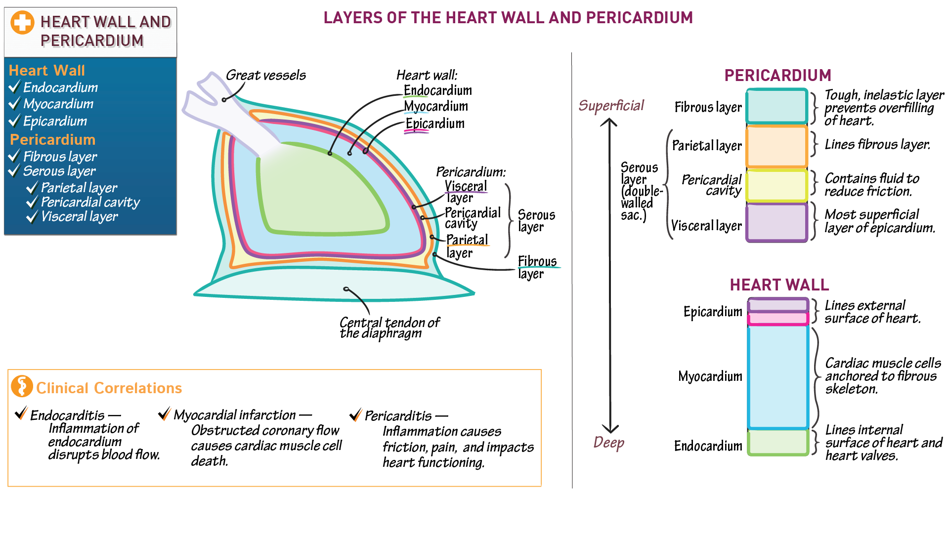 The cardiovascular system heart wall and pericardium draw it to the cardiovascular system heart wall and pericardium draw it to know it ccuart Image collections
