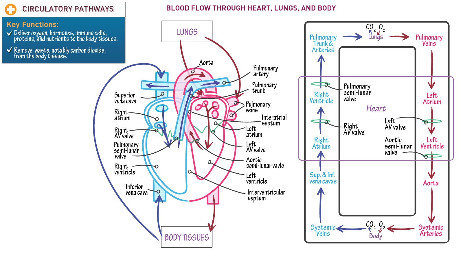 Anatomy & Physiology Fundamentals: Blood Flow through Heart, Lungs ...