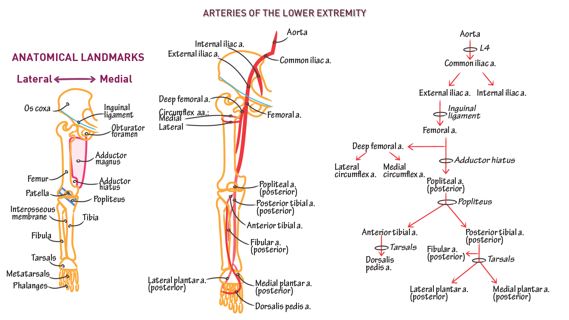 Anatomy & Physiology Fundamentals: Arteries of the Lower Extremity ...