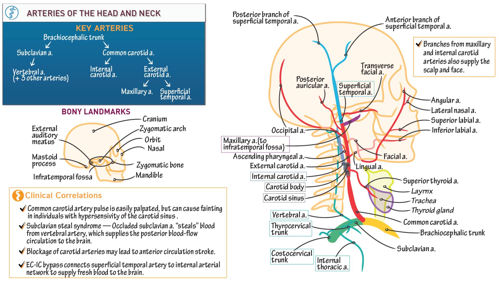 Neuroanatomy: Arteries of Head and Neck | Draw It to Know It
