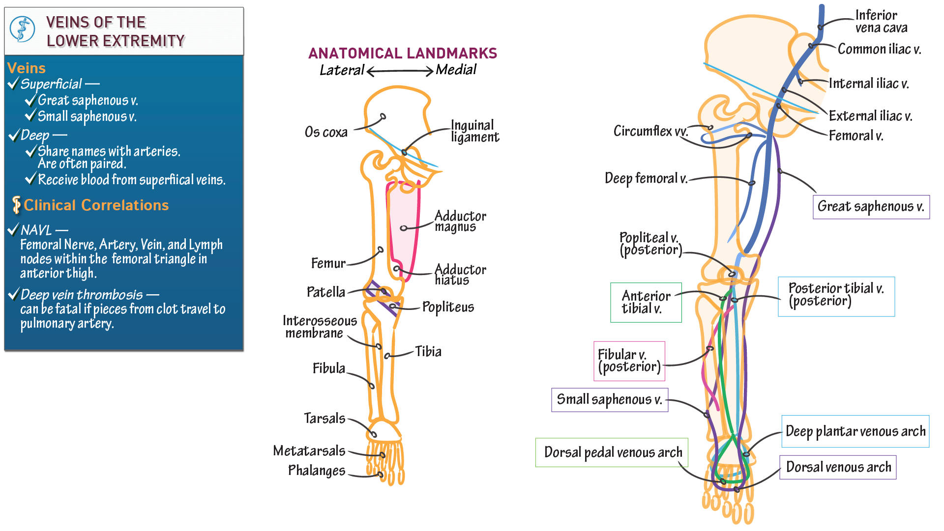 Gross Anatomy Veins Of The Lower Extremity Draw It To Know It