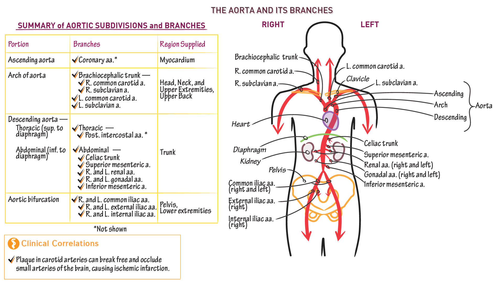 Anatomy Physiology Aortic Branches Draw It To Know It