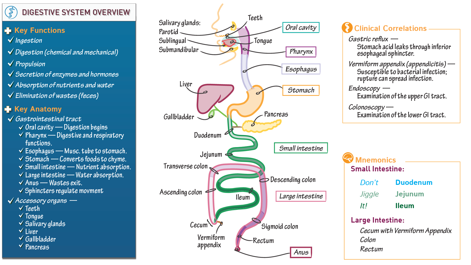 Anatomy & Physiology Fundamentals: Overview of the Digestive Organs ...