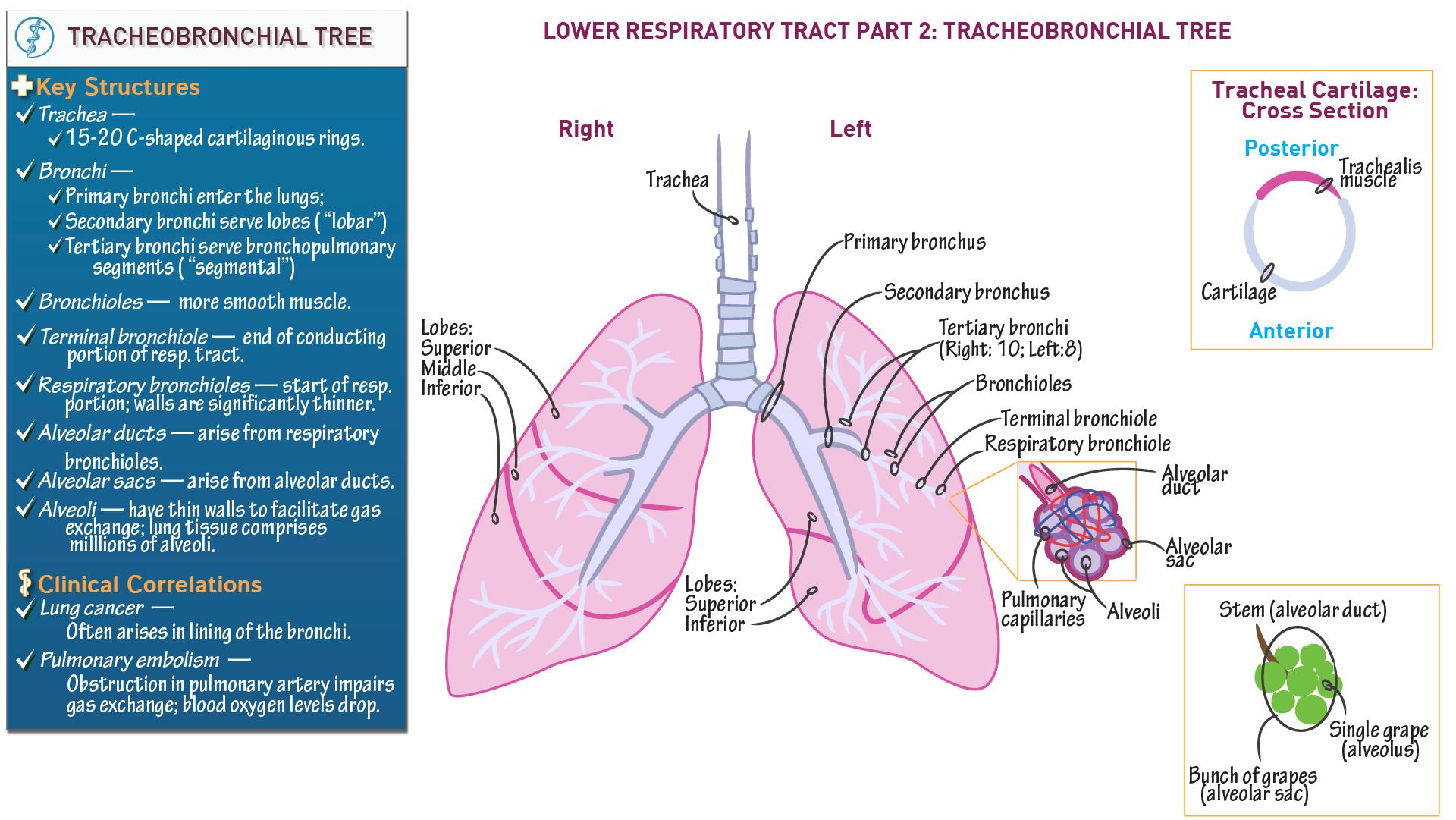 The Respiratory System Tracheobronchial Tree Draw It To Know It