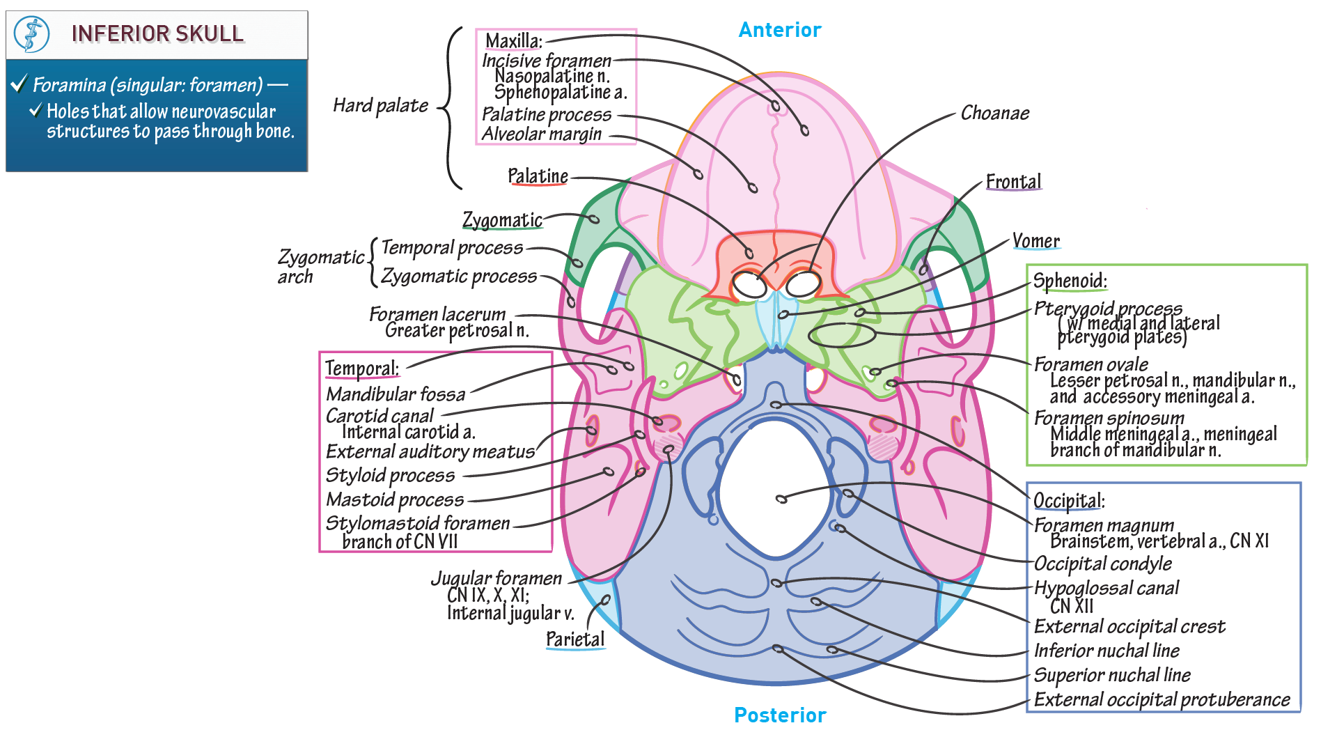 Gross Anatomy: Inferior Skull | Draw It to Know It